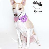 Adopt A Pet :: Rainee - Houston, TX
