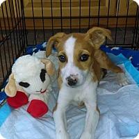 Adopt A Pet :: Triscuit - Gilbertsville, PA