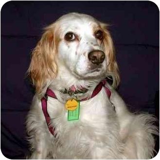 Cocker Spaniel/English Setter Mix Dog for adoption in Buffalo, New York - Talley