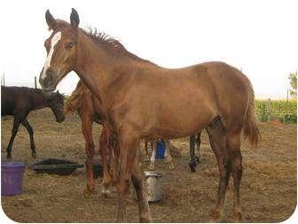 Quarterhorse Mix for adoption in Dewey, Illinois - Simon