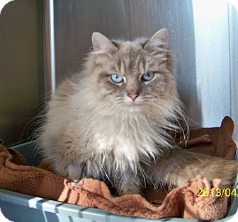 Himalayan Cat for adoption in Dover, Ohio - Eden