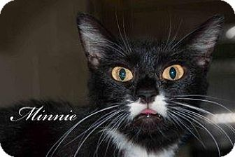 Domestic Shorthair Cat for adoption in Middleburg, Florida - Minnie