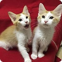 Adopt A Pet :: Franklin - Scottsdale, AZ