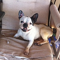 French Bulldog Dog for adoption in Peterborough, Ontario - Bandit