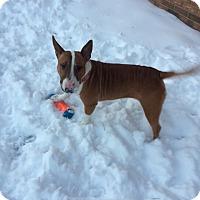 Adopt A Pet :: Luna - Northville, MI
