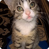Adopt A Pet :: Dylan - Highland, IN