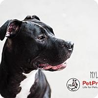 Adopt A Pet :: Myla - Columbus, OH