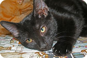 Domestic Shorthair Kitten for adoption in Frederick, Maryland - Slash