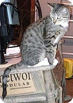 Domestic Shorthair Cat for adoption in Parkton, North Carolina - Little Bit