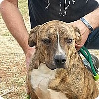 American Pit Bull Terrier Mix Dog for adoption in Blanchard, Oklahoma - Rusty the pit mix