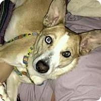 Adopt A Pet :: Bella-SWEET girl! - Hadley, MI