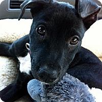 Adopt A Pet :: AMBROSIA - Glastonbury, CT