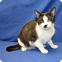 American Shorthair Cat for adoption in New Iberia, Louisiana - NOEL