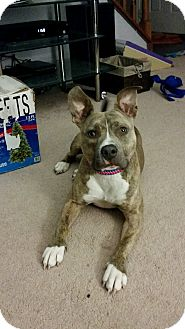 American Pit Bull Terrier Mix Dog for adoption in Richmond, Virginia - Oakley