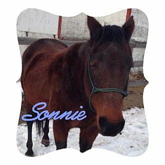 Quarterhorse Mix for adoption in milk river, Alberta - Sonnie