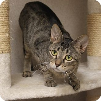 Domestic Shorthair Cat for adoption in Naperville, Illinois - Kacie