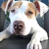 Boxer Mix Puppy for adoption in Scottsdale, Arizona - Dottie