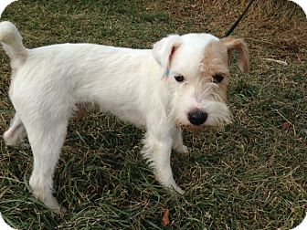 Parson Russell Terrier Dog for adoption in Cumberland, Maryland - Junior