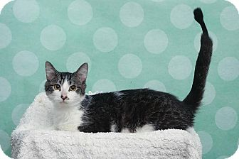 Domestic Shorthair Kitten for adoption in Chippewa Falls, Wisconsin - Thoradore