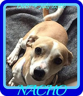 Rat Terrier/Terrier (Unknown Type, Small) Mix Dog for adoption in Albany, New York - NACHO