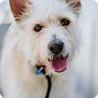 Adopt A Pet :: Blondie - Los Angeles, CA