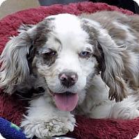 Adopt A Pet :: Silvia 17-016 - Parker, CO