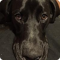 Adopt A Pet :: Ruger - Battle Ground, WA