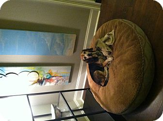 Beagle Dog for adoption in CHAMPAIGN, Illinois - LOUISE