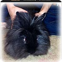 Adopt A Pet :: Midnight - Lees Summit, MO