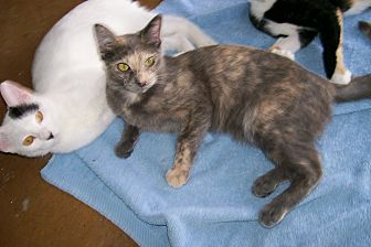Calico Cat for adoption in Scottsdale, Arizona - Athena