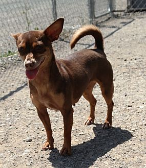 Chihuahua Mix Dog for adoption in San Pablo, California - SERAPHINA