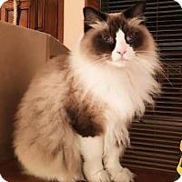 Adopt A Pet :: Samson - Davis, CA