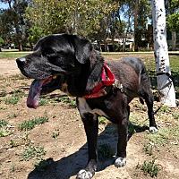 Labrador Retriever Mix Dog for adoption in Downey, California - Monkey