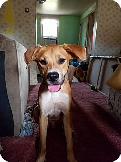Hound (Unknown Type)/Labrador Retriever Mix Dog for adoption in Mount Holly, New Jersey - Chip