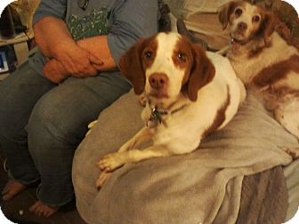 Brittany Dog for adoption in Albuquerque, New Mexico - Little Bee