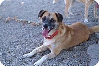 Australian Cattle Dog Mix Dog for adoption in Ripon, California - Meeko
