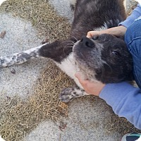 Adopt A Pet :: Volt - Oakton, VA