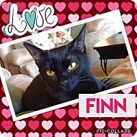 Domestic Shorthair Cat for adoption in Keller, Texas - Finn