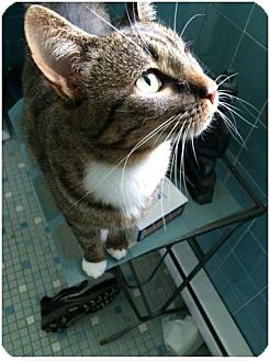 Domestic Shorthair Cat for adoption in Philadelphia, Pennsylvania - Meadow