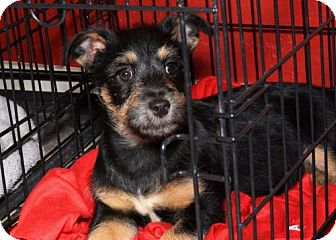 Terrier (Unknown Type, Medium)/Miniature Pinscher Mix Puppy for adoption in Phoenix, Arizona - Johnny