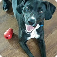 Labrador Retriever Mix Dog for adoption in Lake Odessa, Michigan - Crockett