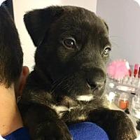 Adopt A Pet :: Harley - Toms River, NJ