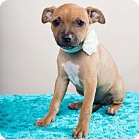 Adopt A Pet :: Dandie - Houston, TX