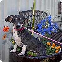 Adopt A Pet :: Hazel - Austin, AR
