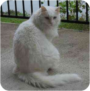 Maine Coon Cat for adoption in Austin, Texas - Harley