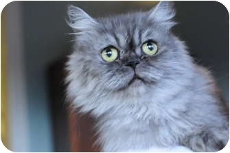 Persian Cat for adoption in Columbus, Ohio - Miss Sterling