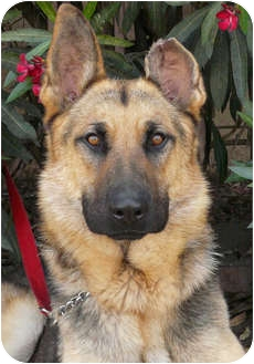 German Shepherd Dog Dog for adoption in Los Angeles, California - Monty von Montoya