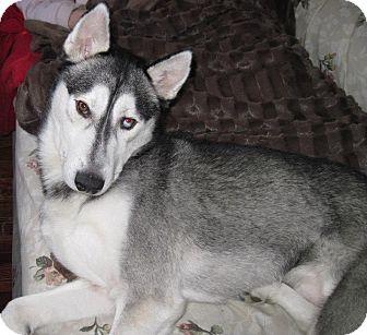 Husky Dog for adoption in Carey, Ohio - LUKA