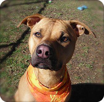 American Pit Bull Terrier/Labrador Retriever Mix Dog for adoption in El Cajon, California - Topaz