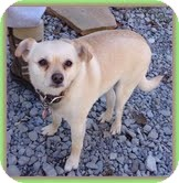 Chihuahua Mix Dog for adoption in Plainfield, Connecticut - Clarice (URGENT)